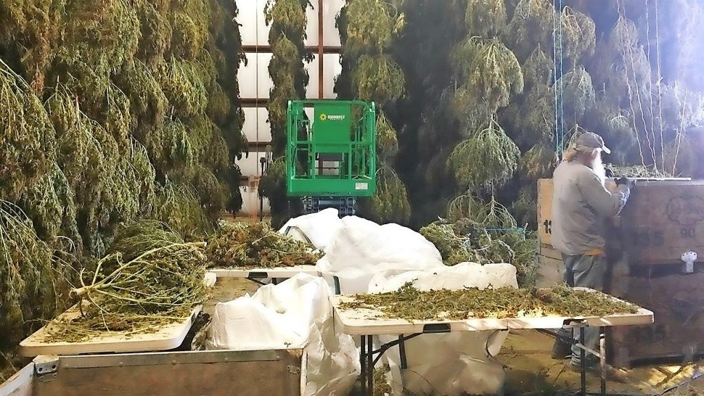 It won't be easy seeing green from hemp harvest