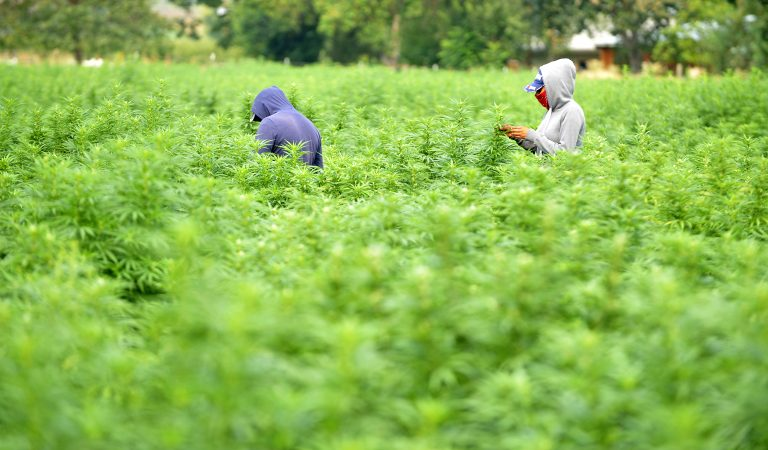 hemp crop in Talent, OR